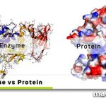Enzyme and Protein