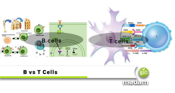 difference between B and T cells