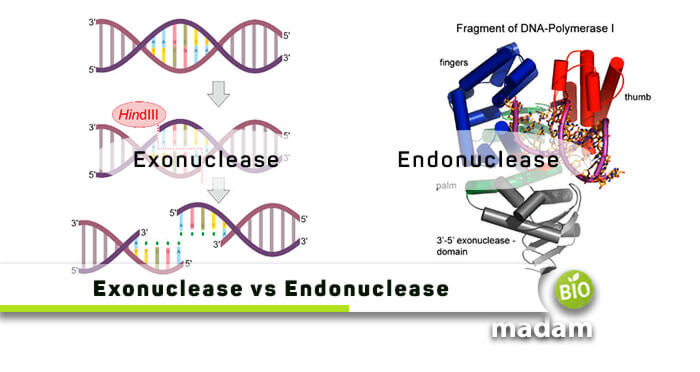 Difference between Exonuclease and Endonuclease