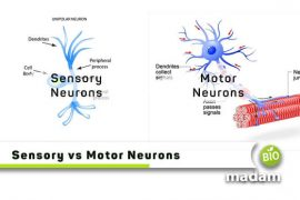 Sensory-vs-Motor-Neurons