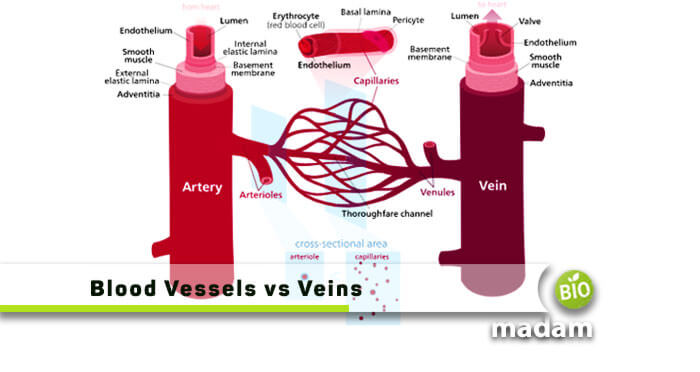 Blood-Vessels-and-Veins